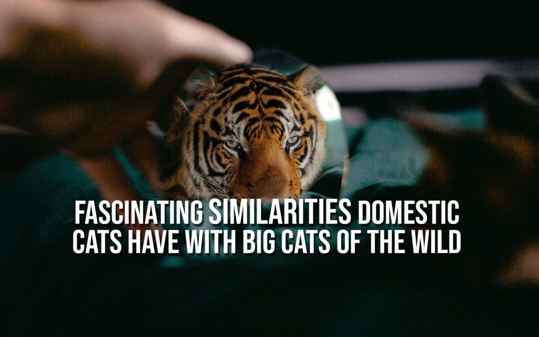 Fascinating Similarities Domestic Cats Have With Big Cats of the Wild